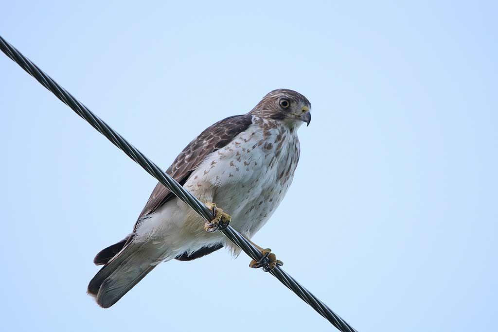 Broad-winged Hawk - eBirdr