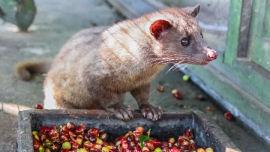 Kopi luwaks love coffee berries.