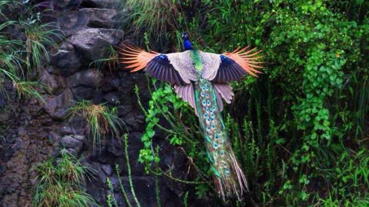 The rare sight of a flying peacock.