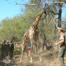 Study Abroad Reviews for Parawild Edu-Capture: Conservation and Wildlife Management in South Africa