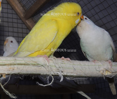 Free classifieds ads for Birds for sale in Pakistan - Adstous