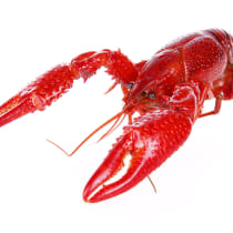 10 lbs. Live Crawfish | QUALITY Grade