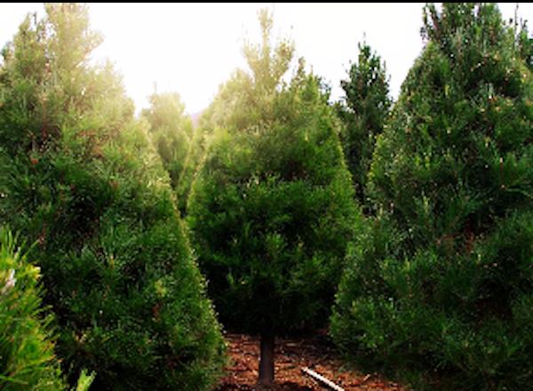 peltzer pines