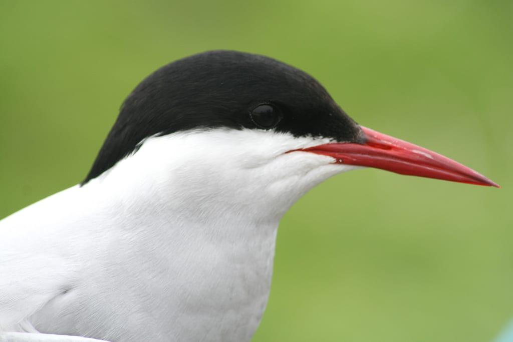 Arctic Tern Ebirdr