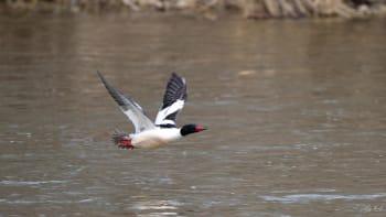 Common Merganser in flight
