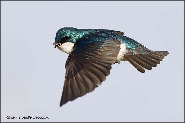 Tree Swallow Bird 84
