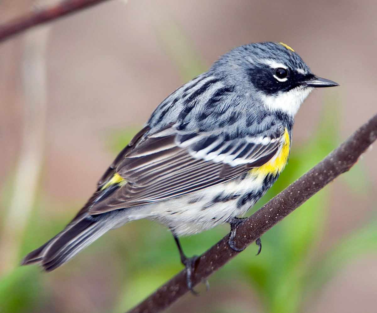 Yellow-rumped Warbler - eBirdr