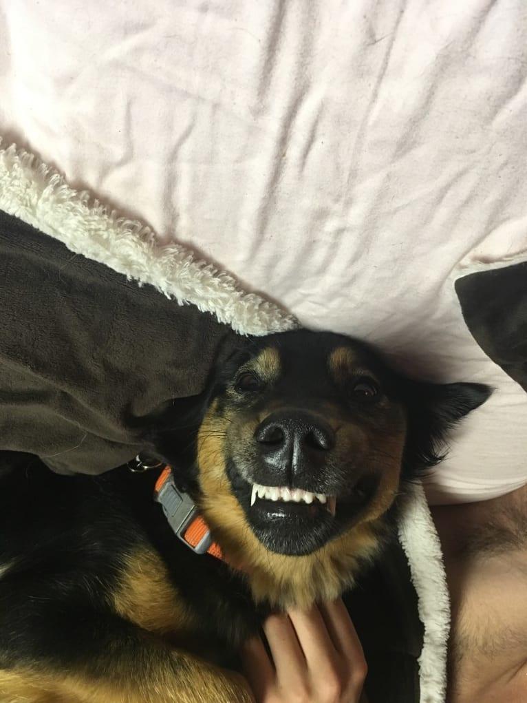 Photo of Luna, a Labrador Retriever, German Shepherd Dog, and Golden Retriever mix