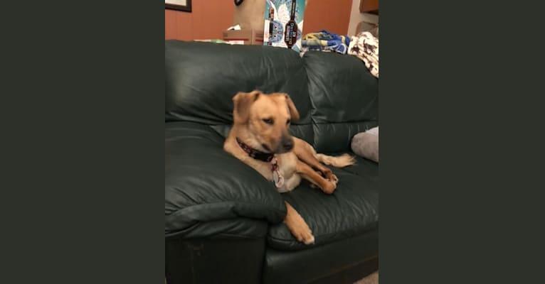 Photo of Gus, a Cocker Spaniel, Australian Cattle Dog, and Australian Shepherd mix in Texas, USA