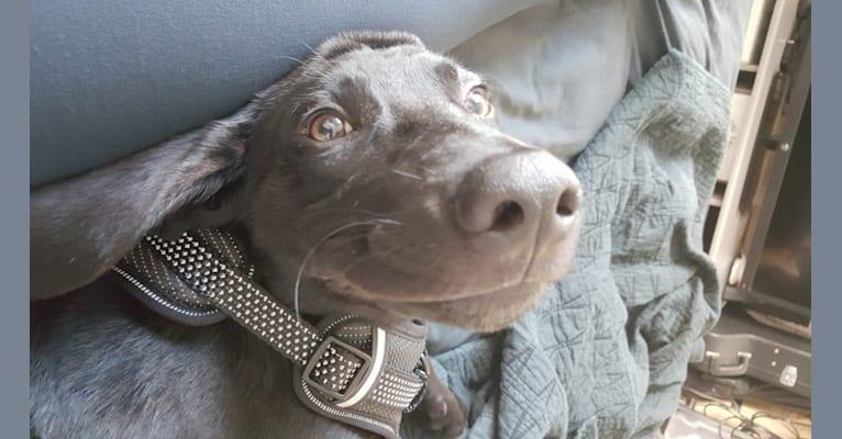 Photo of Starker, a Labrador Retriever, American English Coonhound, German Shepherd Dog, American Pit Bull Terrier, Basset Hound, and Mixed mix in Hemphill, Texas, USA
