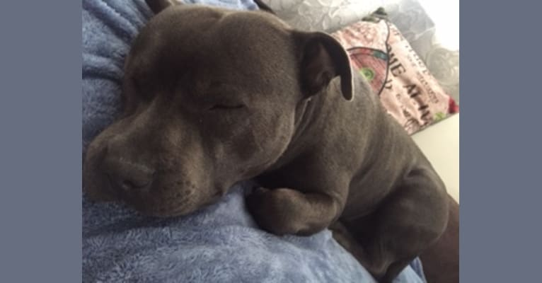 Photo of Dunkin, a Staffordshire Bull Terrier  in Townsville, Queensland, Australia