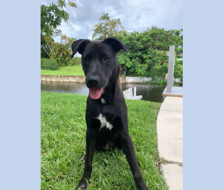Photo of Jetty, an American Pit Bull Terrier, Chow Chow, Dalmatian, German Shepherd Dog, and Mixed mix in Lake Worth, Florida, USA