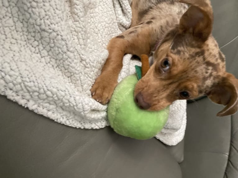 Photo of Mokie, a Dachshund, Russell-type Terrier, Chihuahua, and Pekingese mix in Ohio, USA