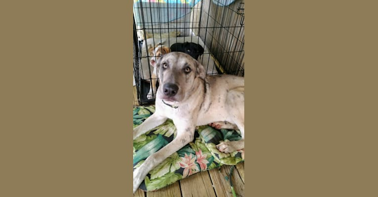 Photo of Luther, a Great Dane, Alaskan Malamute, and Siberian Husky mix in Vidor, Texas, USA