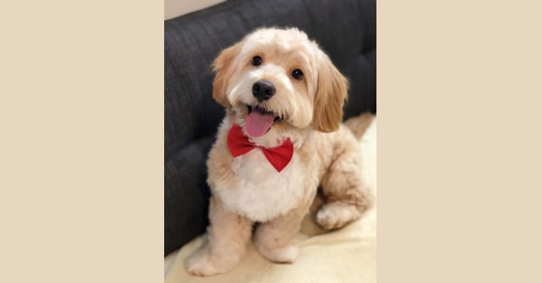 Photo of Peanut, a Cocker Spaniel, Poodle (Small), Bichon Frise, Shih Tzu, and Mixed mix in Houston, TX, USA