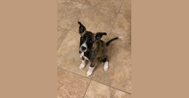 Photo of Harley Jean, a Miniature/MAS-type Australian Shepherd, American Pit Bull Terrier, German Shepherd Dog, American Eskimo Dog, Boston Terrier, and Mixed mix in Oklahoma, USA