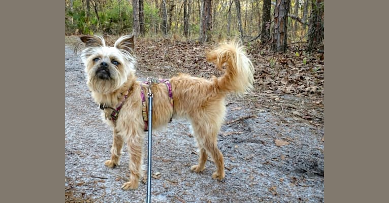 Photo of Reese, a Brussels Griffon, Poodle (Small), and Papillon mix in North Dakota, USA