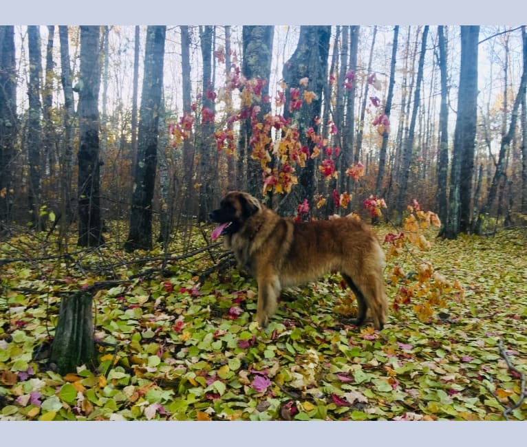 Photo of Countryhills Winston, a Leonberger  in Red Deer, AB, Canada
