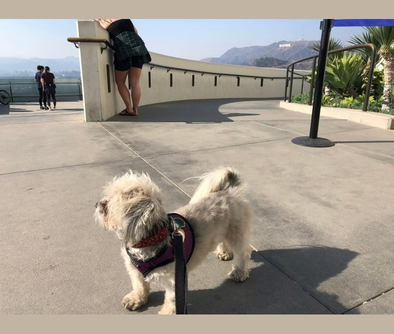 Photo of Winnie, a Lhasa Apso  in California, USA
