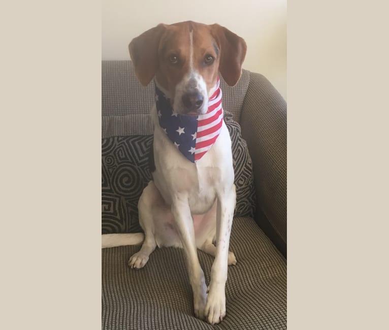 Photo of Trooper, an American Foxhound  in Arlington, Virginia, USA