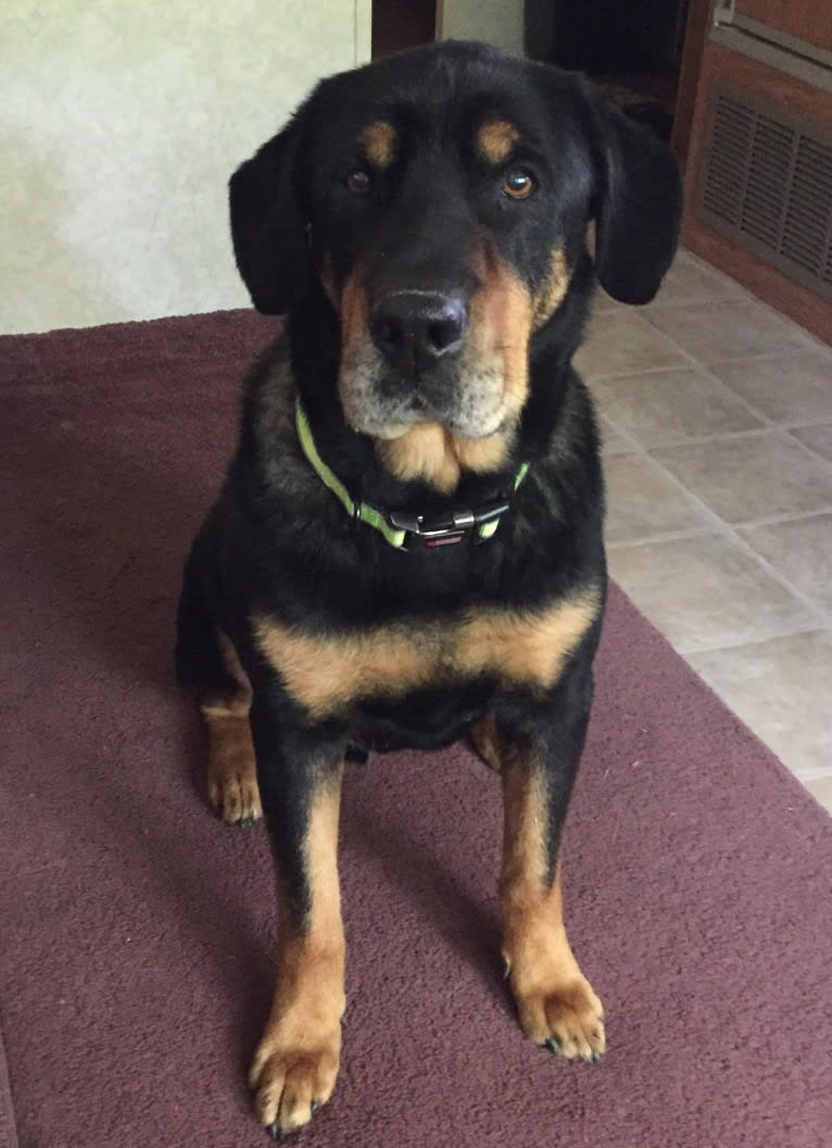 Photo of Chief, a German Shepherd Dog, Labrador Retriever, Rottweiler, Norwegian Elkhound, and Mixed mix in Fenton, Missouri, USA