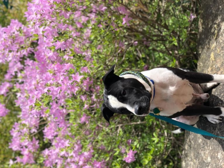 Photo of Chappie, an American Pit Bull Terrier, American Staffordshire Terrier, Akita, and Golden Retriever mix