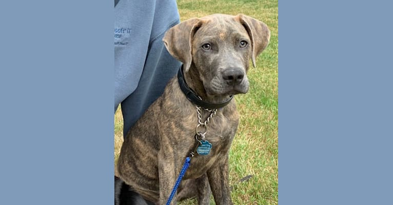 Photo of Tagalong, an American Pit Bull Terrier, Boxer, Australian Cattle Dog, Labrador Retriever, and German Shepherd Dog mix in Lubbock, Texas, USA