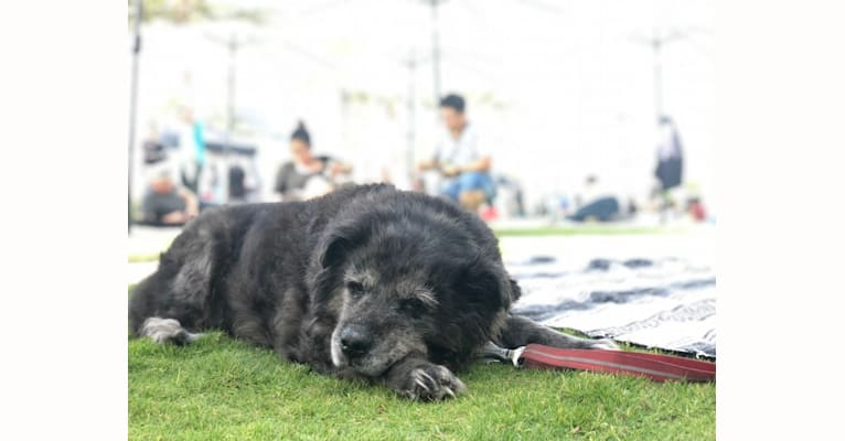 Photo of Edie, a Chow Chow, Australian Shepherd, American Pit Bull Terrier, and Shetland Sheepdog mix in San Diego, California, USA