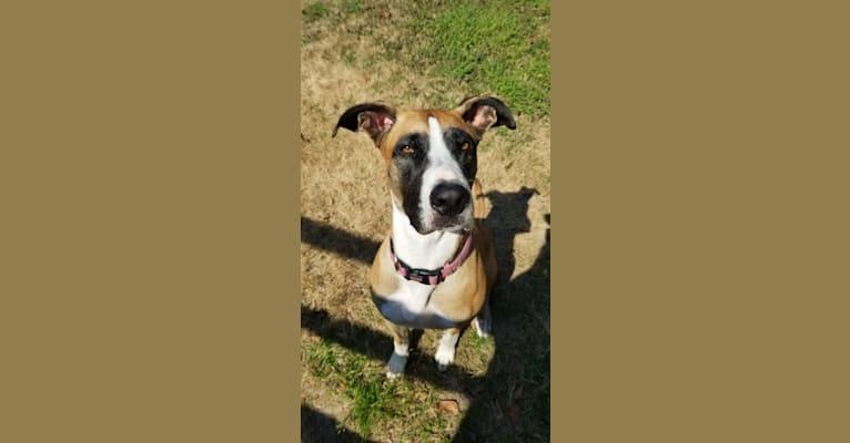 Photo of Rizzo, a Great Dane, German Shepherd Dog, and American Staffordshire Terrier mix in Warner Robins, Georgia, USA
