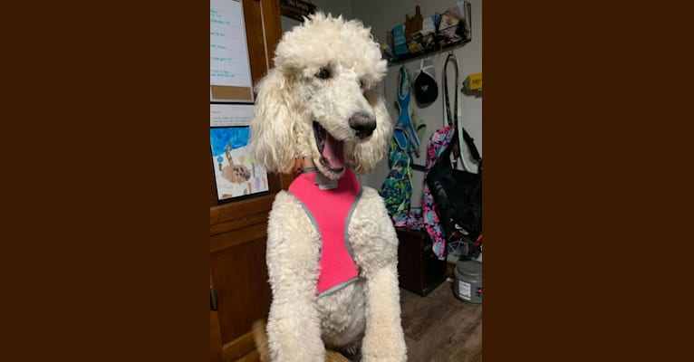 Photo of Anna, a Poodle (Standard)  in Adamsville, TN, USA