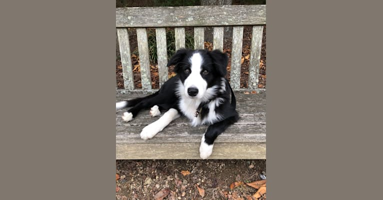 Photo of Angel, a Border Collie  in Tennessee, USA