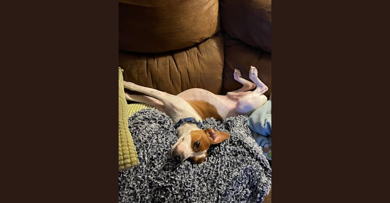 Photo of Linus, a Beagle, Chihuahua, Shih Tzu, Boston Terrier, and Mixed mix in Tennessee, USA