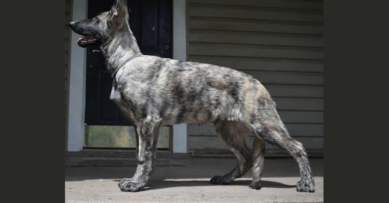 Photo of Vito, a German Shepherd Dog