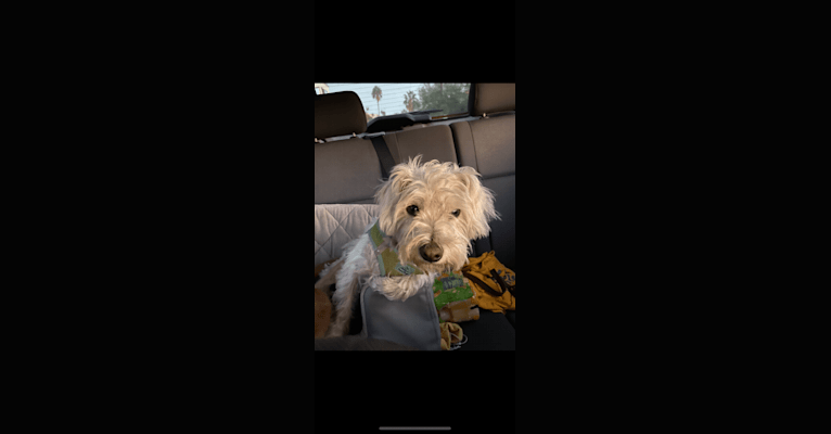 Photo of Finn, a Poodle (Small), Chihuahua, Pomeranian, Maltese, Shih Tzu, and Mixed mix in McFarland, California, USA