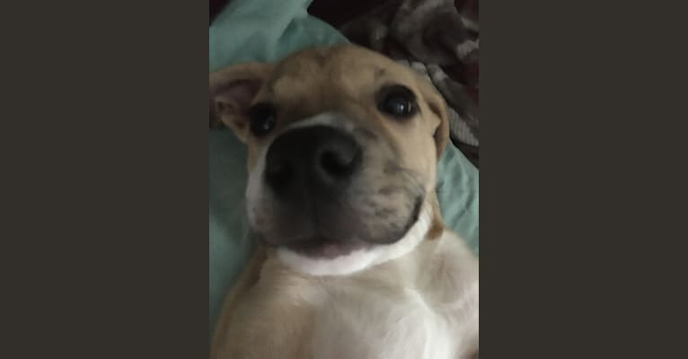Photo of Pebbles, an American Pit Bull Terrier and Great Pyrenees mix in Alabama, USA