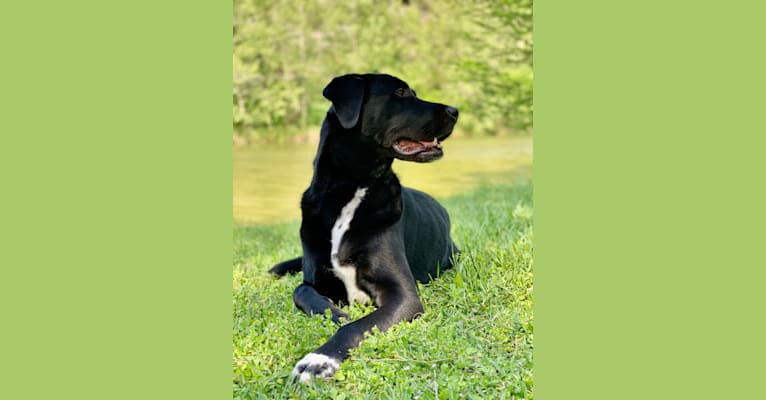 Photo of Peyton, a Labrador Retriever, Great Pyrenees, and Rottweiler mix in Houston, Texas, USA