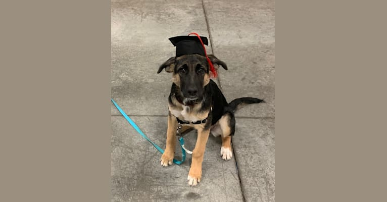 Photo of Willow, a German Shepherd Dog, Rat Terrier, and Labrador Retriever mix in Tennessee, USA