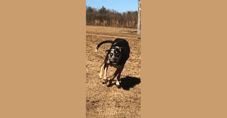Photo of Maverick, a Catahoula Leopard Dog  in Ohio, USA