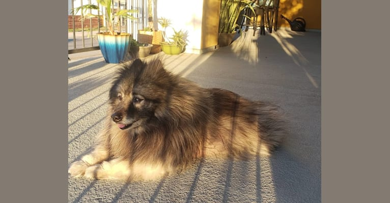 Photo of Bear, a Keeshond  in New York, USA