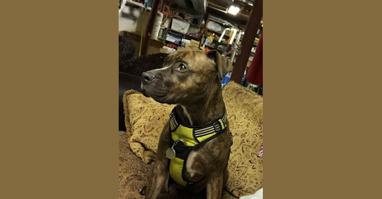 Photo of Dambe, an American Pit Bull Terrier and American Staffordshire Terrier mix in Hartford, Connecticut, USA