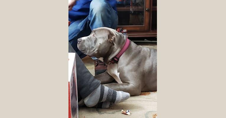 Photo of Jada, an American Bully  in Roanoke, Virginia, USA