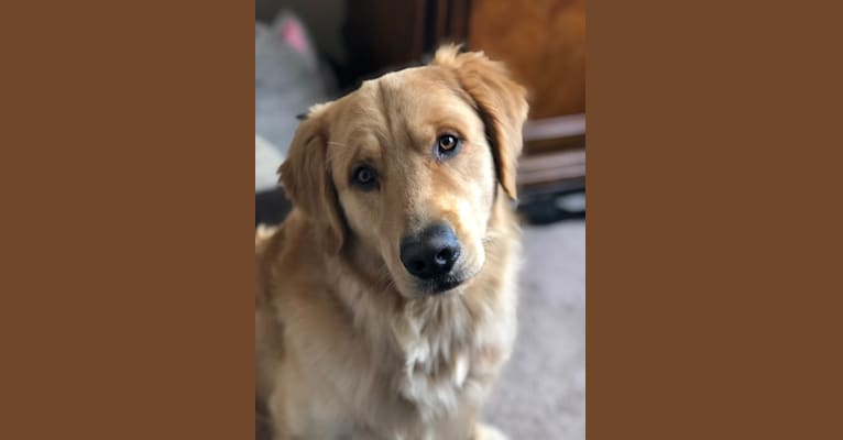 Photo of Samwise, a Golden Retriever  in Loogootee, Indiana, USA