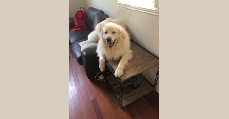Photo of Snow, a Great Pyrenees and German Shepherd Dog mix in Texas, USA