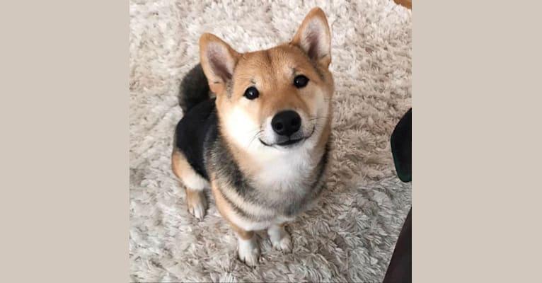 Photo of Kobi, a Shiba Inu  in Pennsylvania, USA