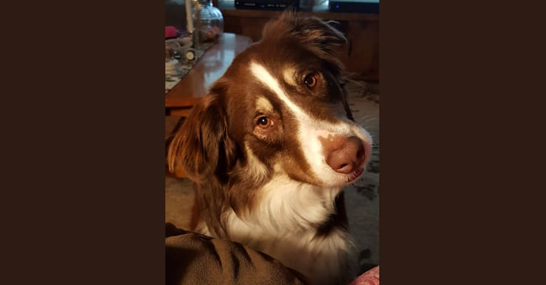 Photo of Copper, an Australian Shepherd, Border Collie, American Pit Bull Terrier, and Mixed mix in Mollusk, Virginia, USA