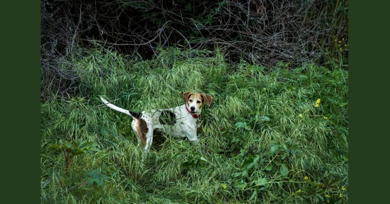 Photo of Rosie Sophia, a Treeing Walker Coonhound, Boxer, Cocker Spaniel, American Eskimo Dog, and Mixed mix in Pasadena, California, USA