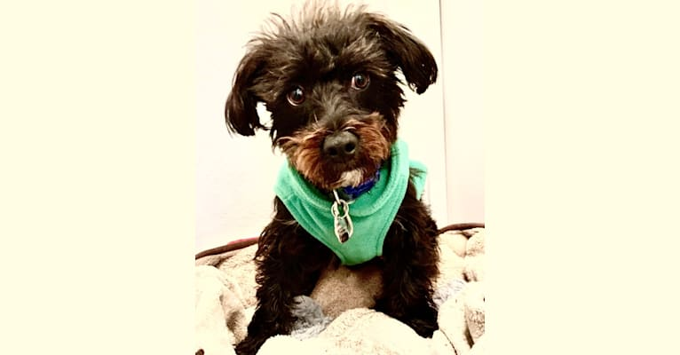 Photo of Freddie, a Yorkshire Terrier, Poodle (Small), Biewer Terrier, and Mixed mix in Oceanside, California, USA