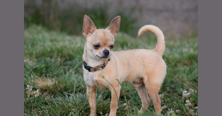 Photo of Roux, a Chihuahua  in Salem, Oregon, USA