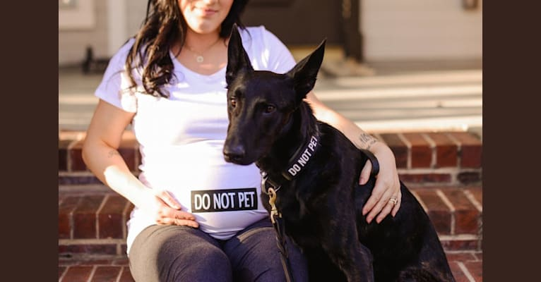 Photo of Exodus, a Dutch Shepherd  in Los Angeles, California, USA