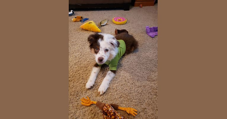 Photo of Berlin, an Australian Shepherd Group  in Russell, MN, USA